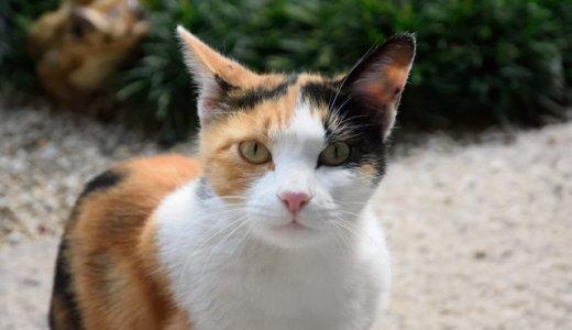 三毛猫やハチワレは英語でなんていう?英語で猫の柄や模様をいってみよう